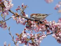 大寒桜とニュウナイスズメたち - トドの野鳥日記