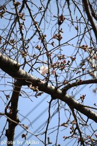 桜詣始まりました🌸 - Blanc de Blancs