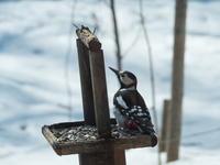 春の陽気が全開!ペンギンみたいな?アカゲラさんも日向ぼっこ! - 十勝・中札内村「森の中の日記」~café&宿カンタベリー~