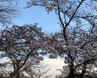 遠回りして桜を見る2020・井の頭恩賜公園 - rhizome2-地下茎-