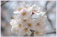 桜のつぶやき(本日2度目の投稿) - 花ありて 日々