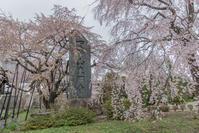 枝垂れ桜を追って。東郷寺@府中市 - デジカメ写真集