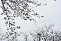 桜2020ヴェルニー公園3月22日 - 素顔のままで