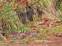 ミヤマホオジロとヒメオドリコソウ - ひとり野鳥の会