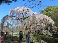 京都御所の桜情報・続編です。 - 京都の骨董&ギャラリー「幾一里のブログ」