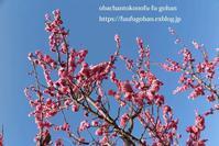 梅の花が、満開です(^_^)v&お花見に、持って行きたいお弁当&休日ののんびりブランチは、冷たいお蕎麦 - おばちゃんとこのフーフー(夫婦)ごはん