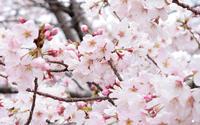 桜と一緒にムスカリの花も見つけました - ブルーベルの森-ブログ-英国のハンドメイド陶器と雑貨の通販