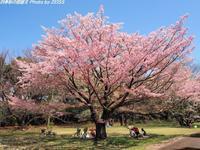 在りし日の和光樹林公園の満開の桜 - 四季彩の部屋Ⅱ
