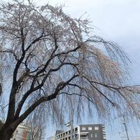 町田駅付近の枝垂れ桜が見頃でした。 - ご無沙汰写真館