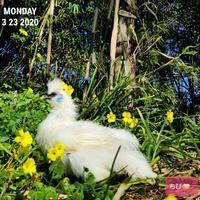 オキザリスの花 - 烏骨鶏かわいいブログ