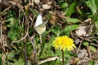 ■蝶 3種20.3.23(スジグロシロチョウ、ベニシジミ、トラフシジミ) - 舞岡公園の自然2