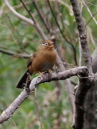 ガビチョウが囀っていました - コーヒー党の野鳥と自然パート3