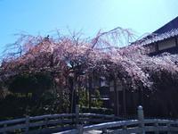 玉蔵院の桜 - so much Life