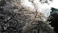 桜が満開です! - Petit à petit(プチ・タ・プチ)