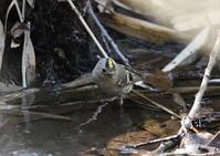 赤松林のキクイタダキ水場リベンジ - 私の鳥撮り散歩