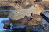 カピバラ温泉2020~男の戰い!ベネットアカクビワラビー(埼玉県こども動物自然公園) - 続々・動物園ありマス。
