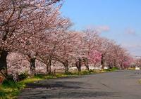 新川の桜・・・・土浦市 - ひな日記