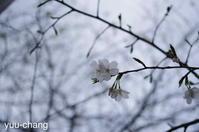 遊歩道のソメイヨシノ - 下手糞でも楽しめりゃいいじゃんPHOTO BLOG