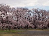 静かに咲く満開の桜 - Zen おりおりの記