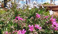 春の「リボンガーデン」と隙間ガーデン - どんぐりの木の下で……