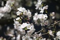 夜桜と新月。そして次亜鉛素水*ジアニスト戴いた♪ - 猫の部屋