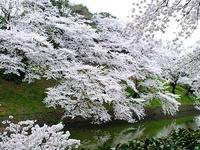 満開の桜 - しらこばとWeblog