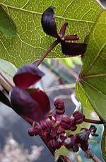 アケビの花 - うまこの天袋