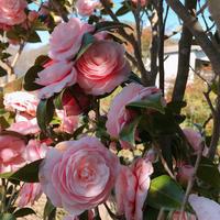 この時期のお愉しみ「今年も行ってきました!椿屋敷Ⅲ~」編 - ドライフラワーギャラリー⁂ふくことカフェ