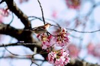 寒桜とニュウナイスズメ - azure 自然散策 ~自然・季節・野鳥~