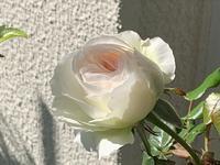今日の薔薇ボレロとプルーンの花 - いととはり