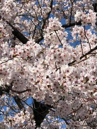 近所で花見 - 埼玉でのんびり暮らす