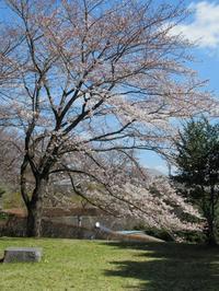 益子城山の桜 - くぬぎの森の物語/鵜澤 廣