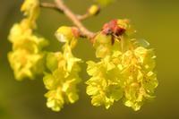 トサミズキの花 - やきつべふぉと