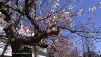 2020桜満開に - ここどんな町