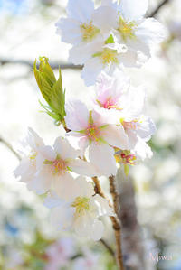 「新宿御苑」の桜 - Miwaの優しく楽しく☆