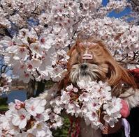 3月25日    桜ん歩③   みさと公園 - マルコの日記