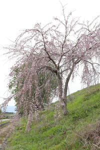 枝垂桜今年も咲きました。 - 平凡な日々の中で