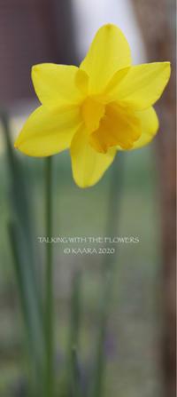 * Yellow daffodil - Kaara's Eye