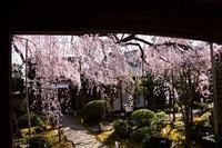 しだれ桜のお寺專称寺・当麻寺 - 峰さんの山あるき
