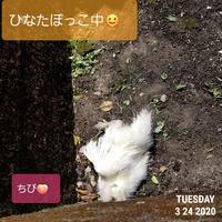 ひなたぼっこ - 烏骨鶏かわいいブログ