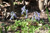 ■小谷戸の里の花20.3.25(ヤマエンゴサク、センボンヤリ、カイドウ) - 舞岡公園の自然2