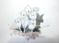 クロッカス-花サフラン - ryuuの手習い