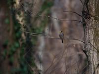 静かな森で・・・イカル・アオジ。 - 鳥見んGOO!(とりみんぐー!)野鳥との出逢い