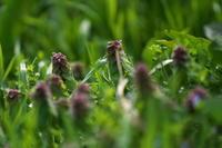 こびとの森ヒメオドリコソウ(姫踊り子草) - 身近な自然を撮る