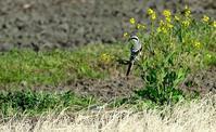迷鳥 オオカラモズ (大唐百舌) ④ - azure 自然散策 ~自然・季節・野鳥~