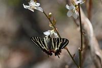 ギフチョウモミジイチゴ再訪 - 蝶のいる風景blog