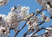 桜の花びら廻してよ、、 - ぶらり探鳥
