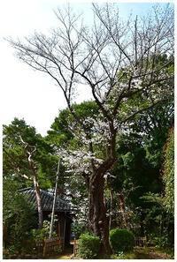 古木の桜 -  one's  heart
