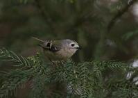 赤松林のキクイタダキの枝止まりその3 - 私の鳥撮り散歩