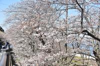 桜2020走水水源地3月25日 - 素顔のままで